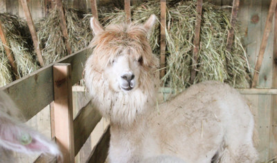Alpaki i konie w terapii niepełnosprawnych dzieci