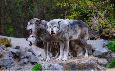 Dbają o ochronę wilków w Polsce